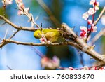 the japanese white eye.the... | Shutterstock . vector #760833670