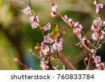 the japanese white eye.the... | Shutterstock . vector #760833784
