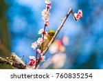 the japanese white eye.the... | Shutterstock . vector #760835254