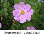cosmos flower in the garden | Shutterstock . vector #760836160