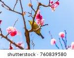 the japanese white eye.the... | Shutterstock . vector #760839580
