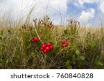 bright red mountain cowberry... | Shutterstock . vector #760840828