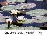 water lily pond   seerosenteich  | Shutterstock . vector #760844494