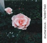 pink rose in the garden at doi... | Shutterstock . vector #760847560