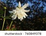 the sunlight white dahlia... | Shutterstock . vector #760849378