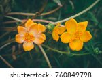 pink and orange common purslane ... | Shutterstock . vector #760849798