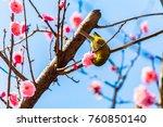 the japanese white eye.the... | Shutterstock . vector #760850140
