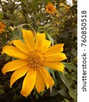 baby sunflower with yellow and... | Shutterstock . vector #760850518