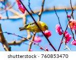 the japanese white eye.the... | Shutterstock . vector #760853470