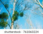 growing christmas mistletoe... | Shutterstock . vector #761063224