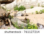 striped hyena rests after night ... | Shutterstock . vector #761127214