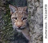 baby lynx. lynx live in dense...   Shutterstock . vector #761166958