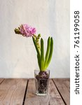 hyacinth flower in a cup | Shutterstock . vector #761199058