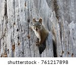 Small photo of Juvenile Abert's Squirrel Peeking