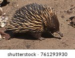 spiny anteater on pambula beach ... | Shutterstock . vector #761293930