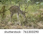 male spotted or axis deer ... | Shutterstock . vector #761303290