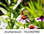Butterfly Landing On Coneflower