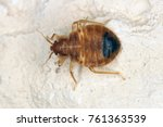bed bug cimex lectularius... | Shutterstock . vector #761363539