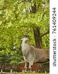 Small photo of antelope alcina Antilope alcina antelope Taurotragus oryx