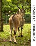Small photo of antelope alcina Antilope alcina antelope