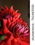 close up of red chrysanthemum