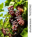 ripening grape clusters on the... | Shutterstock . vector #76152562