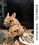Small photo of Two adorable jerboa (Allactaga major) with a long tail and ears standing and eating in the glass showcase at pet of small world show. (Selective focus)