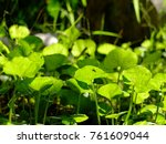 Small photo of A group of water weed