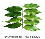 desmos chinensis leaves... | Shutterstock . vector #761615329