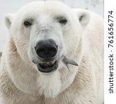 big polar bear fishing during... | Shutterstock . vector #761656774