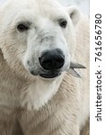 big polar bear fishing during... | Shutterstock . vector #761656780