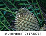 Tip Of Female Cycad Cone