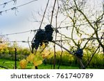 Grapes For Making Ice Wine  ...