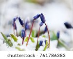 Spring Flower Scilla Siberica...