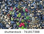 Small photo of Carolina Geranium in gravel with frost