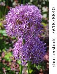 Small photo of Beautiful Purple Allium flower (Decorative Onion) with green natural background. Perfect image for: pink alliums flowers, close up head detail, florist and gardening, etc.