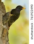 The Common Starling  Sturnus...