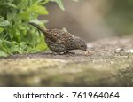 Dunnock  Perched On A Wall ...