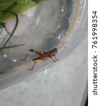 Small photo of A close-up photograph of a typical Grasshopper from the ACRIDIDAE family