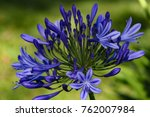 Agapanthus Flower Close Up....
