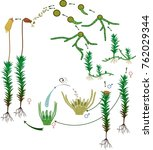 Moss Life Cycle. Diagram Of A...