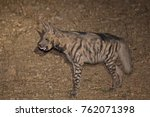 striped hyena tongue out | Shutterstock . vector #762071398