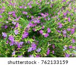 false heather or elfin herb | Shutterstock . vector #762133159