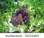 Small photo of Colorful Branching tube sponge,Aiolochroia crassa, covered by Suenson's brittle star, Caribbean sea, Panama