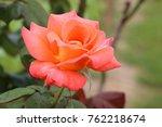 rose in the garden   Shutterstock . vector #762218674