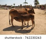 calf drinking milk from cow.... | Shutterstock . vector #762230263