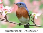 Male Eastern Bluebird  Sialia...