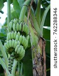 Bananas Are Growing  Waiting...