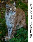 lynx cat animal   Shutterstock . vector #762291784