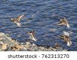 a group of summer plumaged... | Shutterstock . vector #762313270